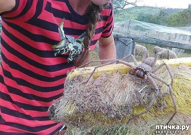 фото 1: Австралийские пауки способны уничтожить население страны всего за год