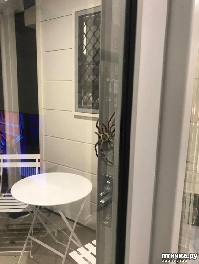 фото 2: Австралийские пауки способны уничтожить население страны всего за год