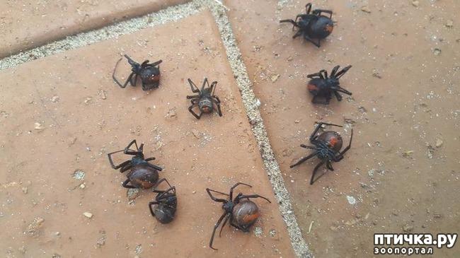 фото 3: Австралийские пауки способны уничтожить население страны всего за год