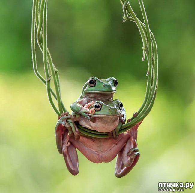 фото 7: Индонезиец делает необычные фотографии лягушек