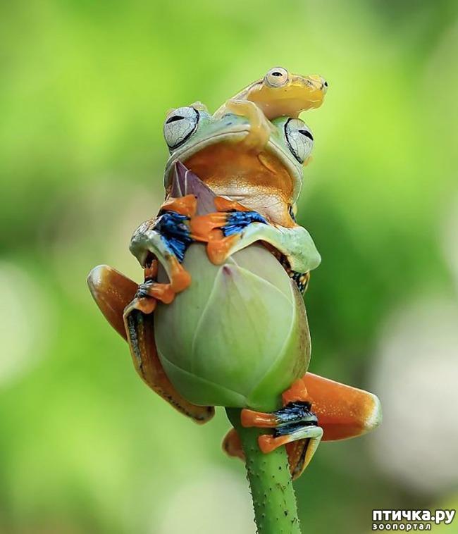 фото 10: Индонезиец делает необычные фотографии лягушек