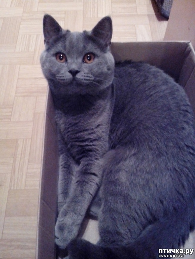 фото 2: Шустрый кот британской наружности