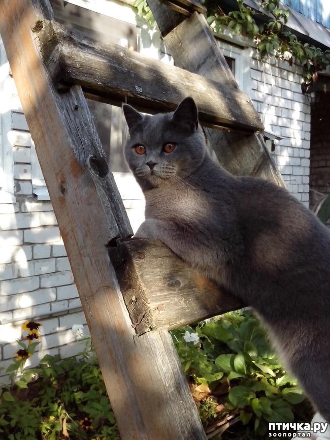 фото 3: Шустрый кот британской наружности