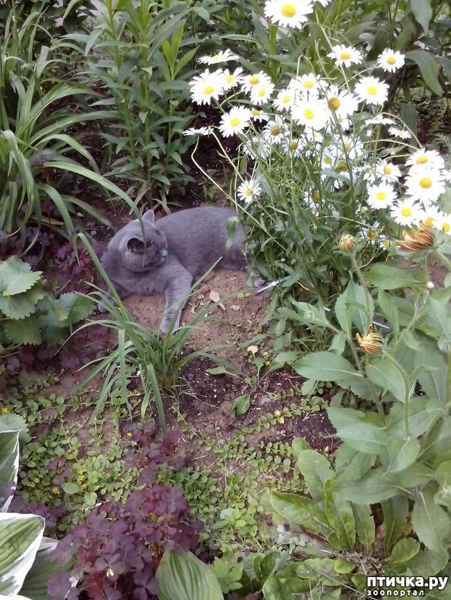 фото 11: Шустрый кот британской наружности