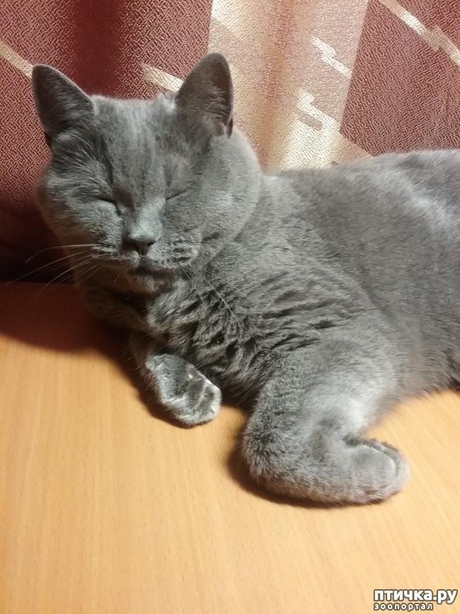 фото 13: Шустрый кот британской наружности