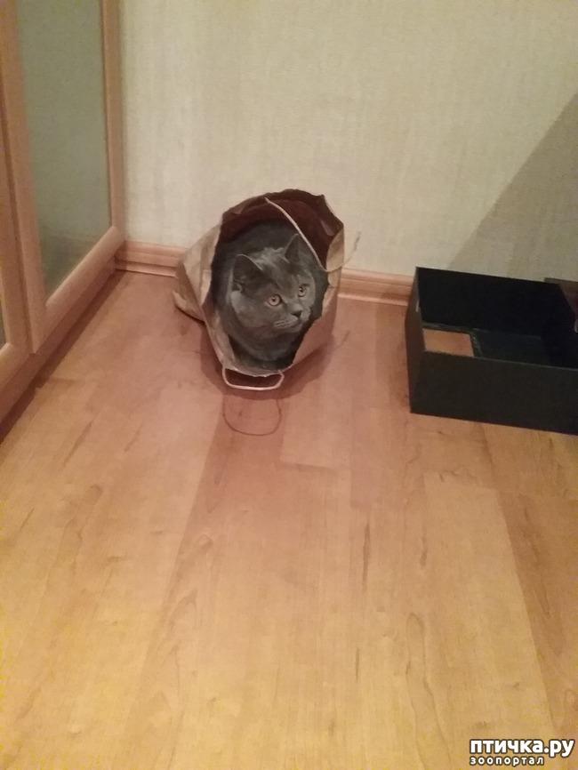 фото 7: Шустрый кот британской наружности