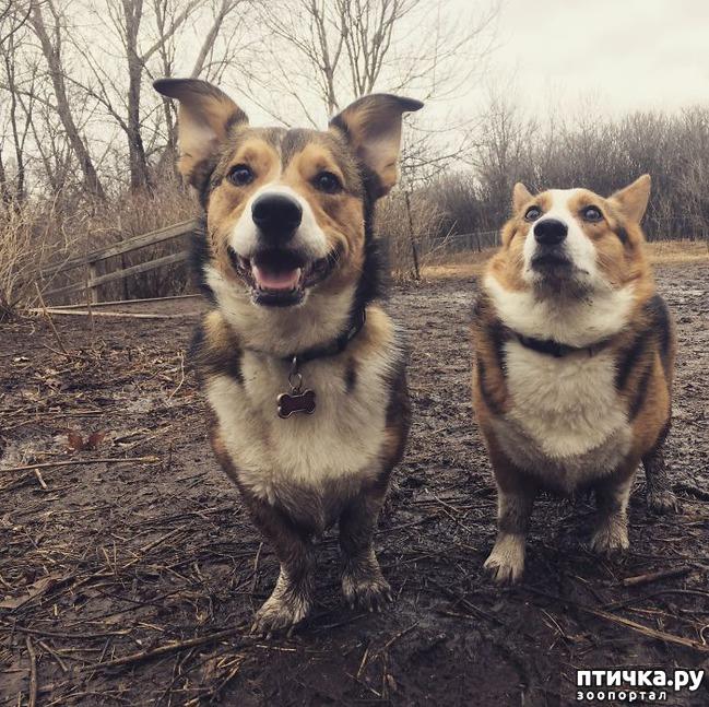 фото 5: 30 собак, чьи хозяева сильно пожалели, что отстегнули поводок