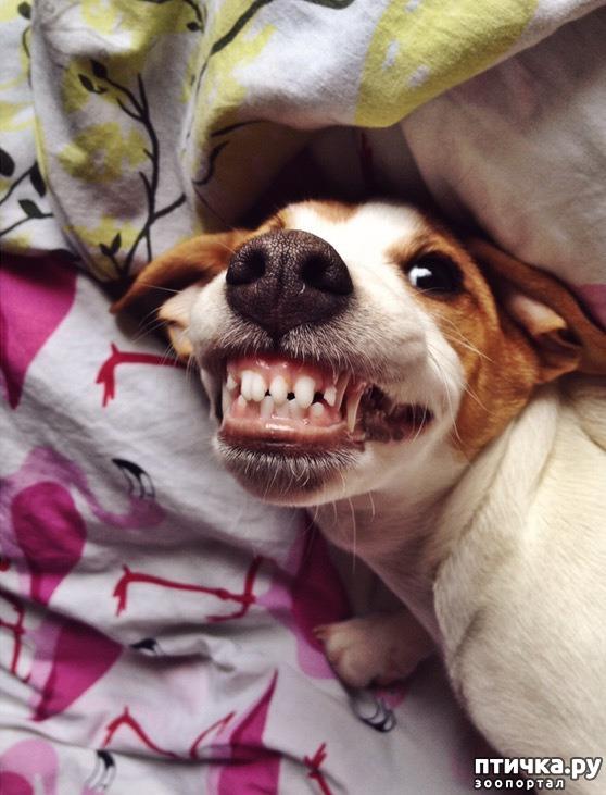 фото 1: Моя собака-улыбака