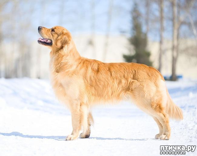 фото 3: Год Собаки 2018: какая порода вам подходит по знаку зодиака
