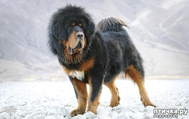 фото 10: Год Собаки 2018: какая порода вам подходит по знаку зодиака