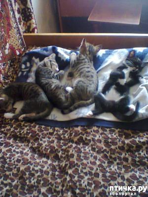 фото: Как пристраивать котят: мой опыт