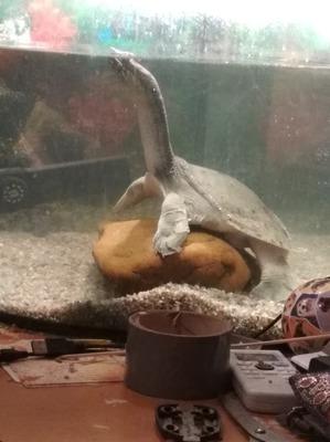 фото: Как мы завели вторую черепаху