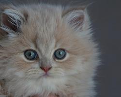 Наш любимый Мишутка, британский длинношерстный