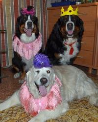 Джеффри ( в роли короля) и Фарлина - бернские  зенненхунды, Дарина ( лежит) - золотистый ретривер. Девочки  пришли  к  Джеффри  на  день  рождения