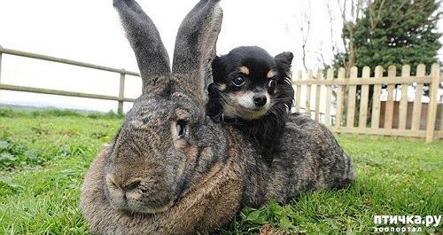 фото 2: Кролики великаны