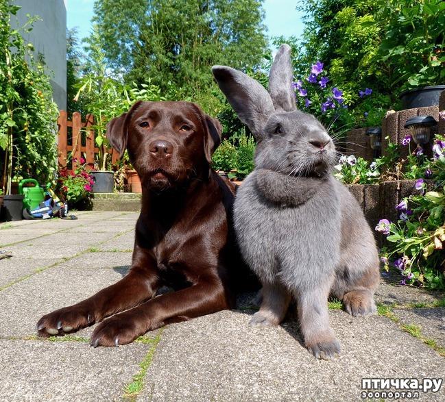 фото 1: Кролики великаны