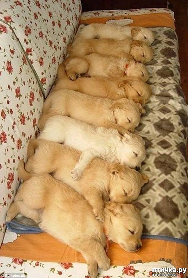фото 2: Где сон сморил, там и заснули))) какие милые щенки, особенно когда спят)))