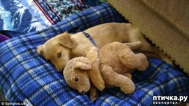 фото 8: Где сон сморил, там и заснули))) какие милые щенки, особенно когда спят)))
