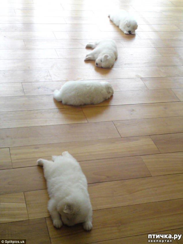 фото 13: Где сон сморил, там и заснули))) какие милые щенки, особенно когда спят)))