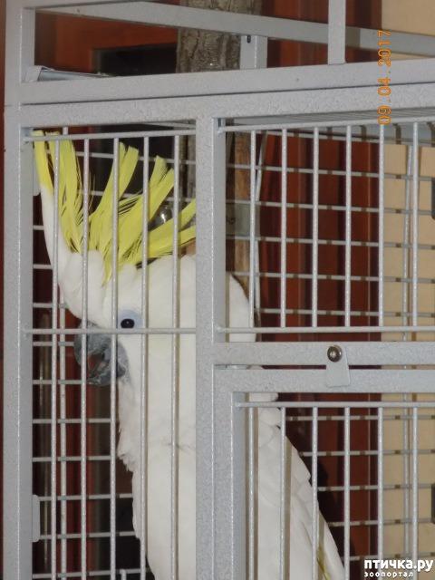фото 7: Наш домашний питомец по кличке Котя - любимый попугай какаду