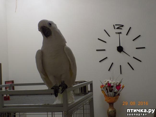 фото 8: Наш домашний питомец по кличке Котя - любимый попугай какаду