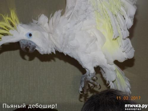 фото 10: Наш домашний питомец по кличке Котя - любимый попугай какаду
