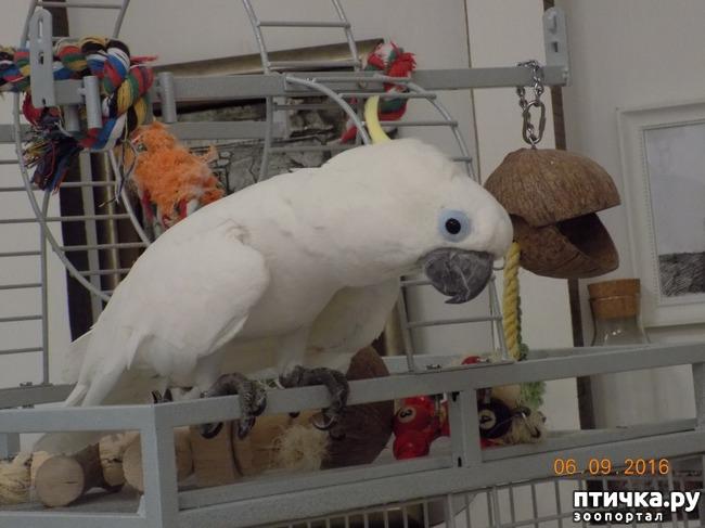 фото 11: Наш домашний питомец по кличке Котя - любимый попугай какаду