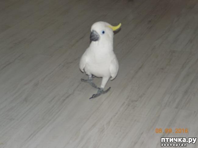 фото 13: Наш домашний питомец по кличке Котя - любимый попугай какаду