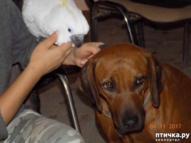 фото 15: Наш домашний питомец по кличке Котя - любимый попугай какаду