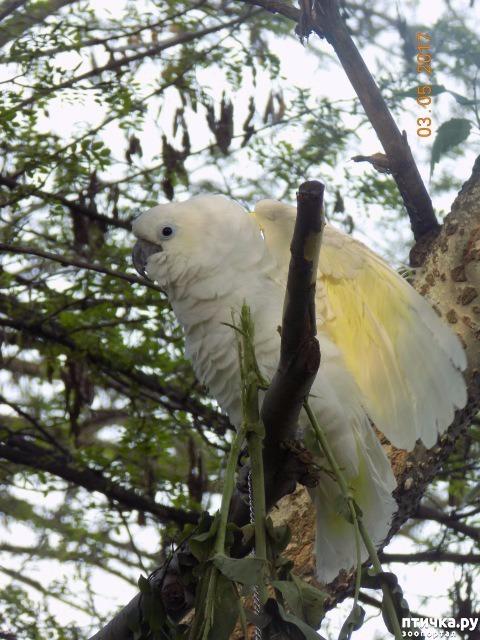 фото 17: Наш домашний питомец по кличке Котя - любимый попугай какаду