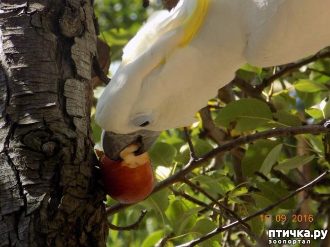 фото 18: Наш домашний питомец по кличке Котя - любимый попугай какаду