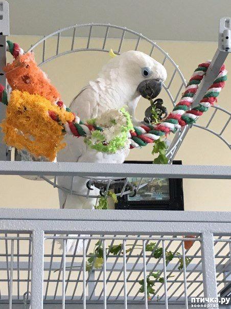 фото 1: Наш домашний питомец по кличке Котя - любимый попугай какаду
