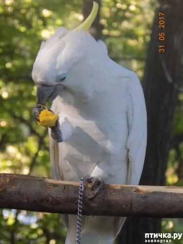 фото 3: Наш домашний питомец по кличке Котя - любимый попугай какаду