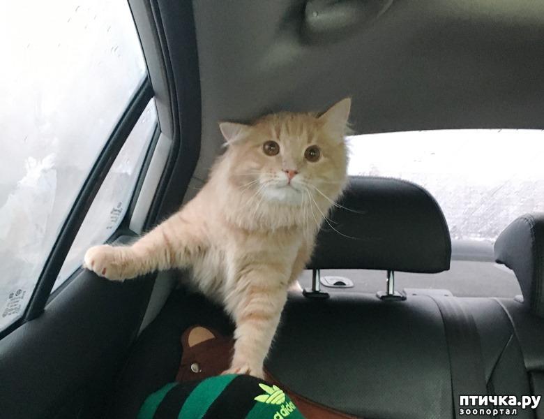 А это кот Марсель - главный штурман в семейной команде. Пристально смотрит за дорогой, не дай Бог кто-то нарушит правила, будет иметь дело с его острыми коготками!!!