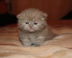 Соня, британская короткошёрстная кошка