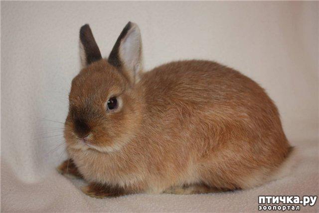 фото 1: Карликовые кролики