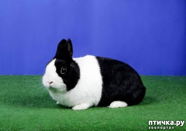 фото 2: Карликовые кролики