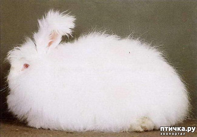 фото 3: Карликовые кролики