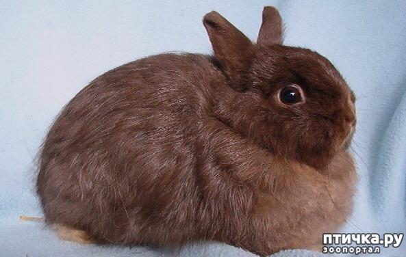 фото 4: Карликовые кролики