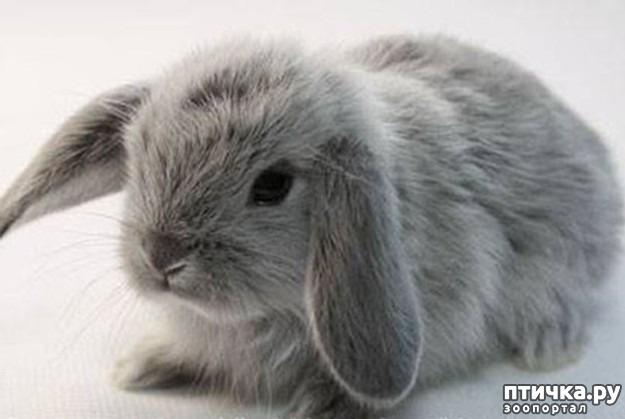 фото 5: Карликовые кролики
