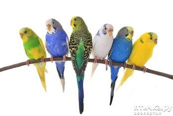 фото: Волнистые попугаи: уход, содержание и кормление