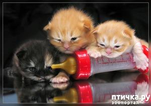 фото: Котята пушинки-смешинки.