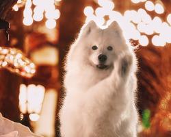 Майя, самоедская собака