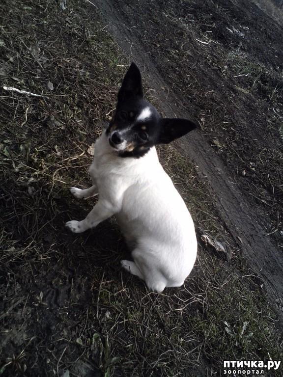 Карликовый пинчер | Небольшая порода собак из Германии | 768x576