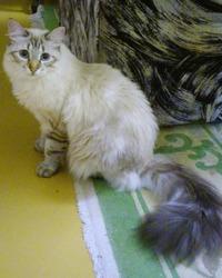 Бьянка, манерная кошка смешанной породы