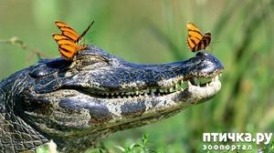 фото: Интересные факты о крокодилах