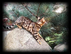 фото: Бенгальская кошка - кошка ли она?