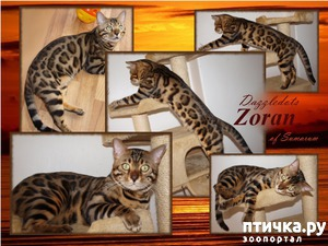 фото: Какая должна быть бенгальская кошка?