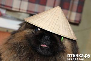 фото: Пекинский вьетнамец