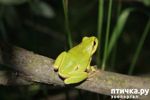 фото: Древесные лягушки